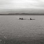 Vanishing Orcas